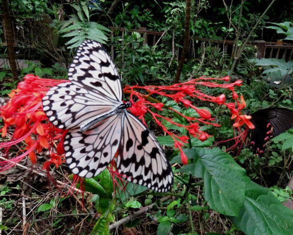 大白斑蝶-張進來.JPG_圖示